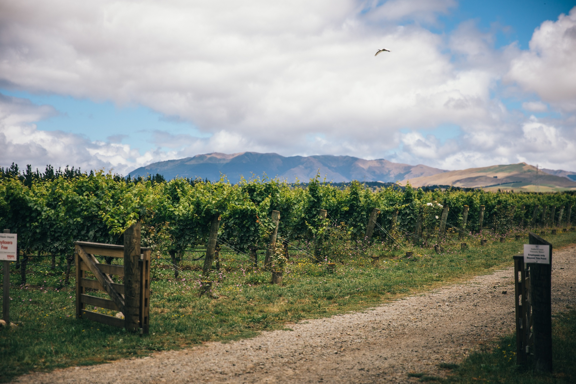 Read more about the article A summer's day amongst the vineyards of North Canterbury